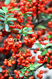 Red pyracantha Royalty Free Stock Images