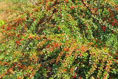 Red pyracantha berries on a bush Stock Image