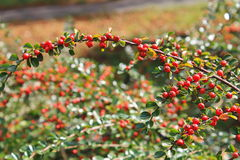 Red pyracantha berries on a bush Stock Images