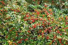 Red pyracantha berries on a bush Royalty Free Stock Photography