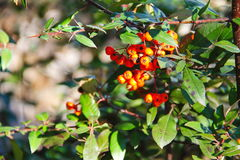 Red pyracantha berries on a bush Royalty Free Stock Images