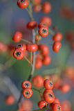 Red pyracantha berries Stock Images