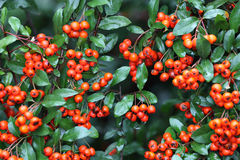Red pyracantha berries with wet leaves. Red pyracantha berries with green wet leaves in selective focus Royalty Free Stock Photography