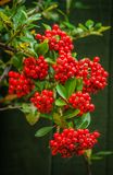 Red Pyracantha Firethorn Berries. A group of red Pyracantha Firethorn berries on the bush Stock Image