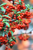 Red pyracantha fruits Stock Photos