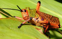 Red Pyrgomorphid Grasshopper South Africa Royalty Free Stock Images