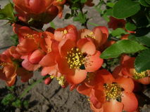 Red quince Royalty Free Stock Photo