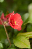 Red Quince Flower in Spring Royalty Free Stock Photography