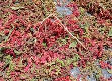 Red Quinoa closeup on sunlight Stock Photos