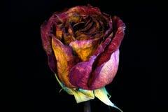 Red1 róża Sucha Obrazy Stock