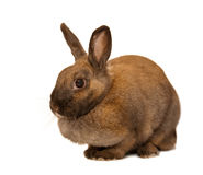 Red rabbit. Isolated on the white background. Shallow depth-of-field Stock Photo