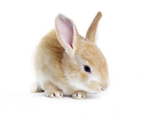 Red rabbit Royalty Free Stock Photos