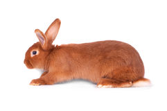The red rabbit Stock Image