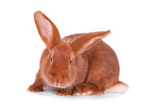 The red rabbit Stock Photos