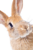 Red rabbit Royalty Free Stock Photo