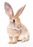 Red rabbit Stock Images