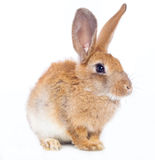 Red rabbit Royalty Free Stock Image