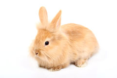 Red rabbit Stock Image