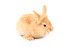 Red rabbit Royalty Free Stock Photography
