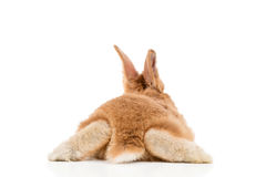Red rabbit, back view. Small red rabbit lying on his stomach apart legs to the side, rear view, isolated on white background stock photography