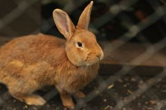 Red rabbit in captivity royalty free stock images