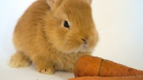 Red rabbit with the carrot. Sitting on a white background stock video