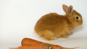 Red rabbit with the carrot. Sitting on a white background stock video footage