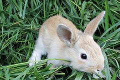 Red rabbit on the fresh grass . Royalty Free Stock Photography
