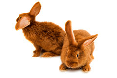 Red rabbit isolated Royalty Free Stock Images