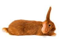 Red rabbit isolated Stock Image