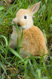 Red rabbit kid royalty free stock image