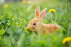 Red rabbit outdoor Stock Photos