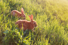 Red rabbit outdoor Royalty Free Stock Photo