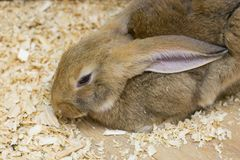 Red rabbit, pets. In a zoo Stock Photography