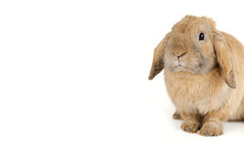 Red Rabbit Royalty Free Stock Images