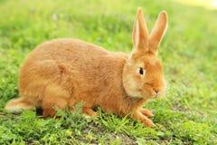 Red rabbit Stock Photos
