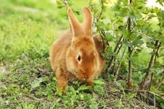 Red rabbit Royalty Free Stock Photo