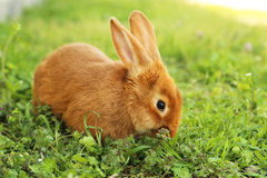 Red rabbit Stock Image