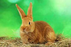 Red rabbit Stock Photography