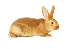 Red rabbit Stock Photo