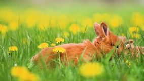Red rabbits gallop among yellow dandelions