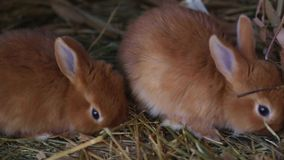 Red rabbits stock footage