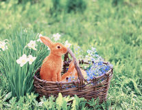 Red rabbits outdoor. Red rabbits in basket outdoor Stock Photography