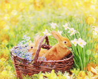 Red rabbits outdoor. Red rabbits in basket  outdoor Royalty Free Stock Photo