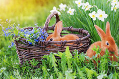 Red rabbits outdoor. Red rabbits  with flowers outdoor Stock Photo