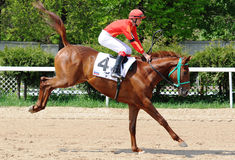 Red racehorse jump. Funny Racehorse plays under the rider in front of race Stock Photos