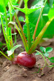 Red radish Stock Photos