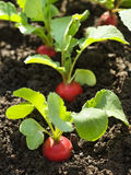 Red radish in bed Stock Image