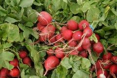 Red radish, English radish, Raphanus sativus Stock Photos