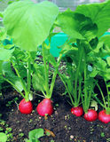 Red radish growing in the garden Stock Photo